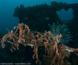 BD-090922-Bunaken-9223573-Plerogyra-sinuosa-(Dana.-1846)-[Rounded-bubblegum-coral].jpg